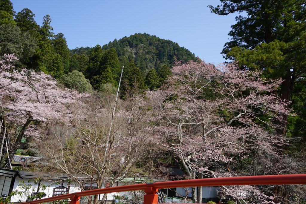 太鼓橋からの桜