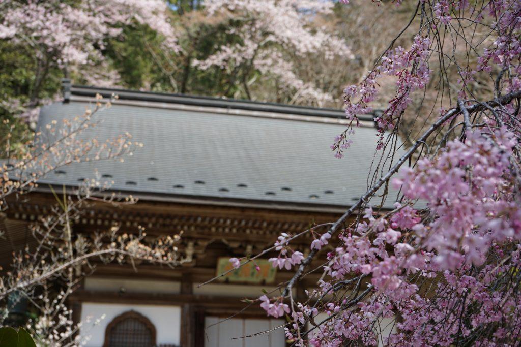 室生寺の桜2