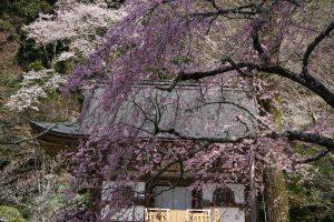 室生寺の桜1