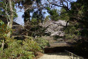 室生寺階段からの桜