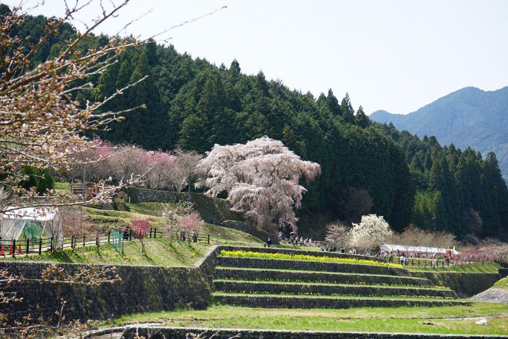 本郷川から見た又兵衛桜