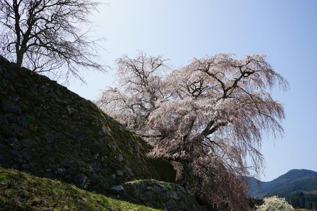 又兵衛桜と石垣