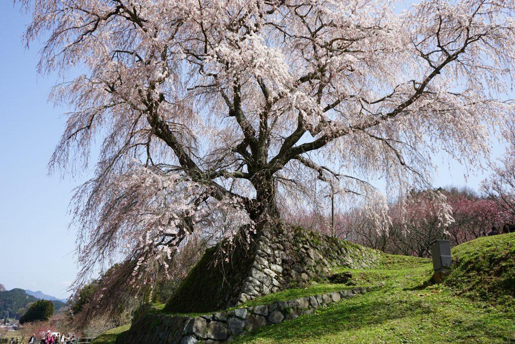 又兵衛桜のベスポジ