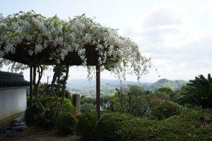 極楽寺の藤
