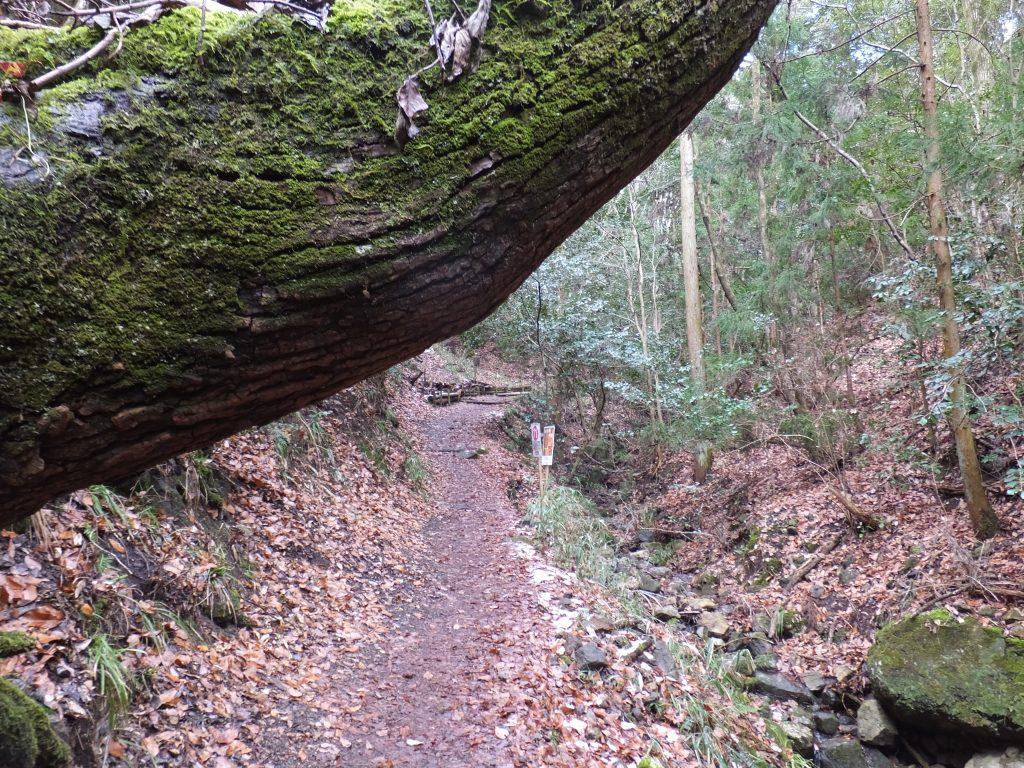 二上山登山道の木アップ