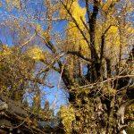 葛城一言主神社の銀杏の木