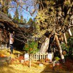 銀杏と葛城一言主神社拝殿