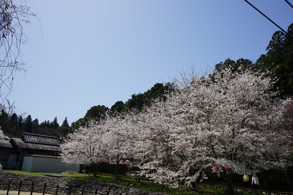 大野寺周辺の桜1