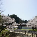 大野寺周辺の川沿いの桜1