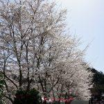 大野寺周辺の桜3