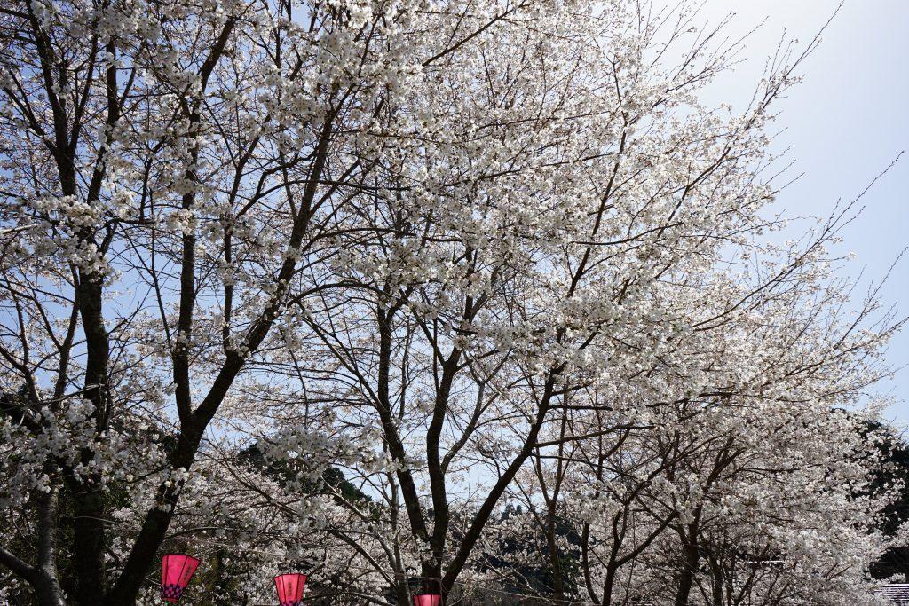 大野寺周辺の川沿いの桜2