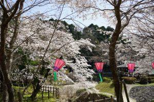 大野寺周辺の川沿いの桜3