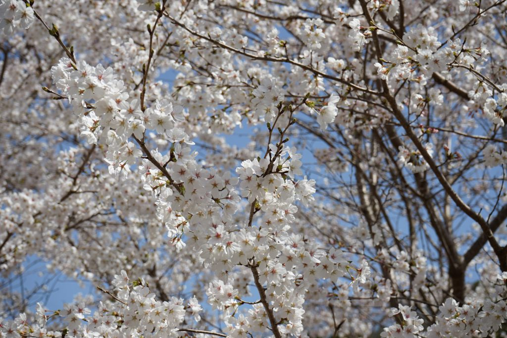 大野寺周辺の桜アップ