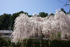 大野寺境内の桜