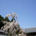 大野寺のしだれ桜1