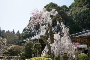 大野寺のしだれ桜2