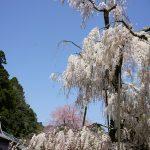 大野寺のしだれ桜3
