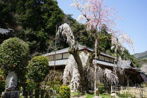 大野寺としだれ桜1