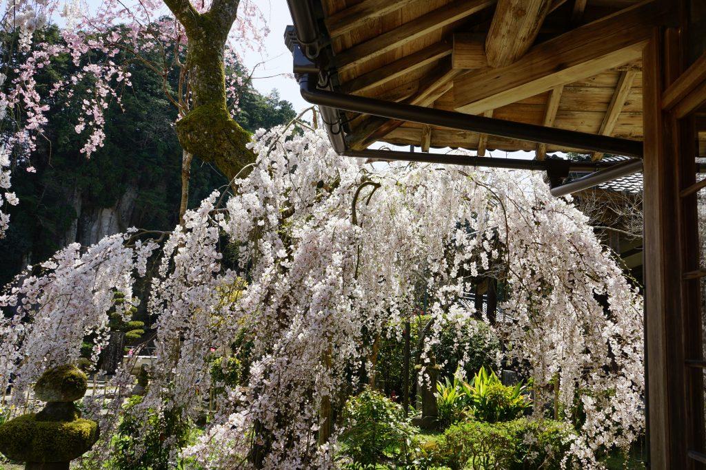 大野寺としだれ桜2