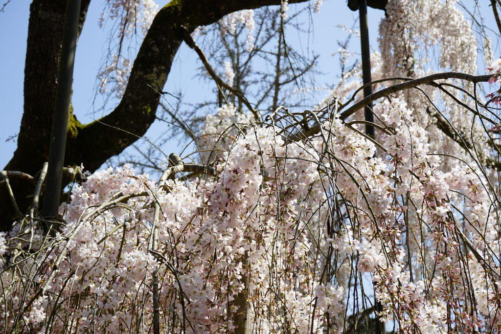 大野寺のしだれ桜4