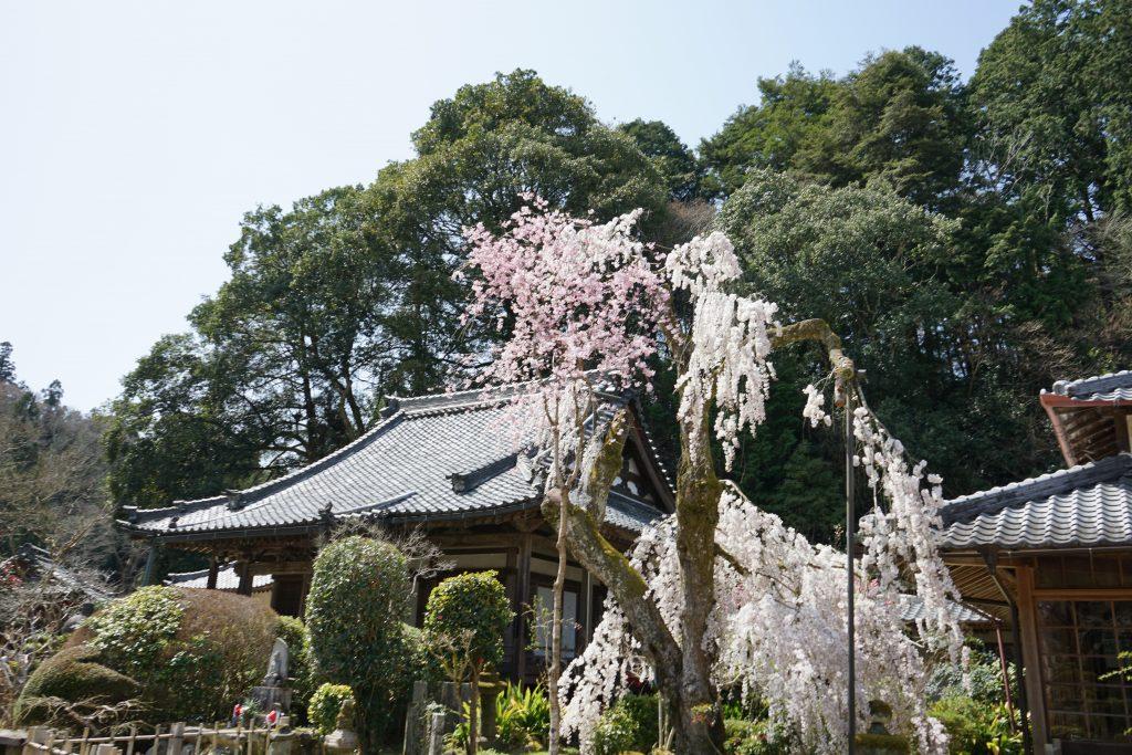 大野寺のしだれ桜5