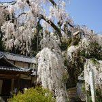 大野寺のしだれ桜6