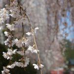 大野寺境内の桜UP画