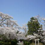 世尊寺境内の桜1