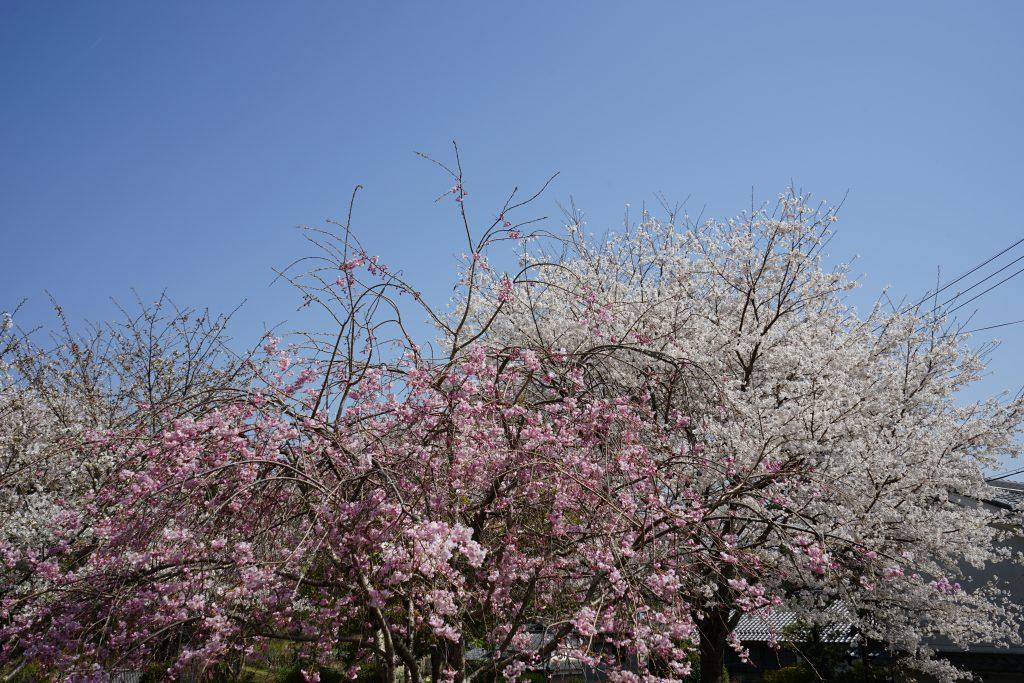 世尊寺境内の桜2