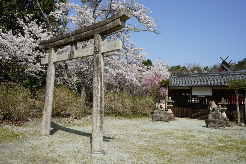 世尊寺境内の桜3