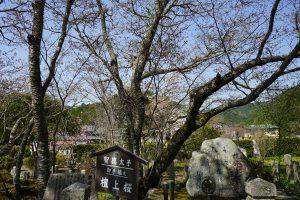 世尊寺の檀上桜